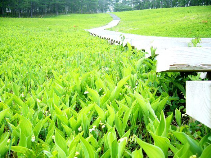 100万株以上の日本すずらんが自生する「入笠湿原」