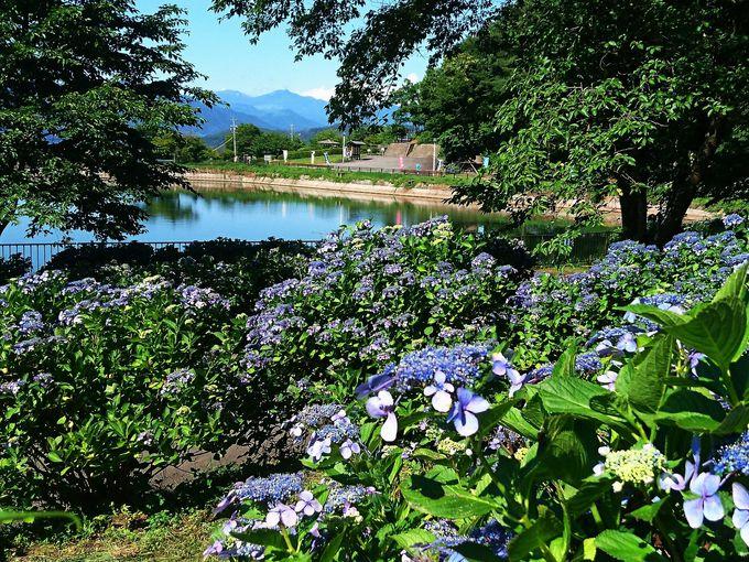 塩野池からの爽やかな風を受けたガクアジサイが咲き誇る