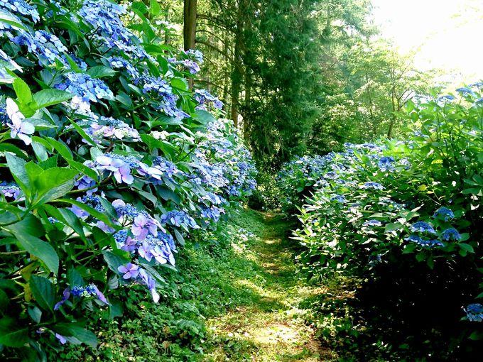艶やかな紫色に彩られた木漏れ日がまぶしい散歩道