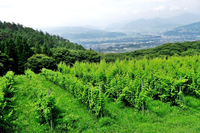 世界を魅了する長野ワインを生み出す「千曲川ワインバレー東地区」
