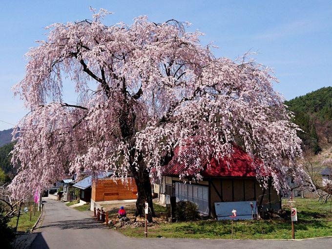 樹下の地蔵がのどかな風景「中塩のしだれ桜」