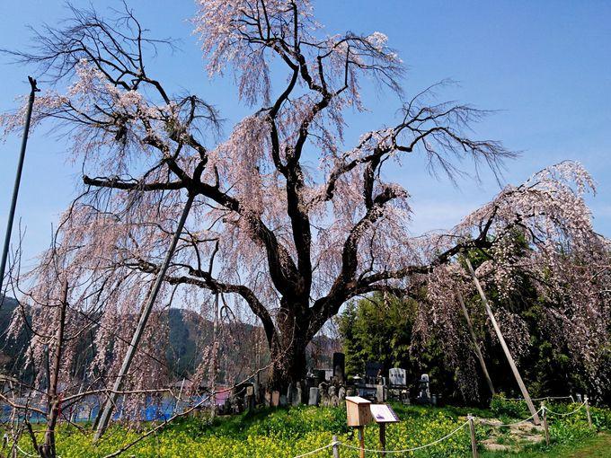 名所の里に咲く高山村最古の桜「坪井のしだれ桜」