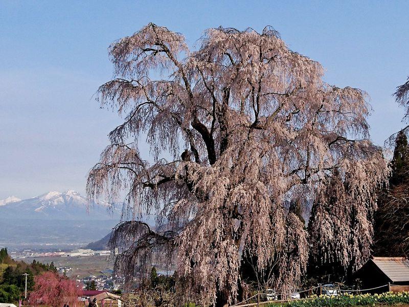 """""""しだれ桜の里""""信州高山「五大桜」は春を告げる里の守り神"""