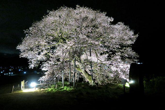 高山村五大桜唯一の「黒部のエドヒガン桜」は最後に咲く