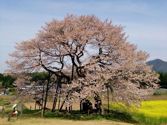 高山村五大桜唯一の「黒部のエドヒガンザクラ」は最後に咲く
