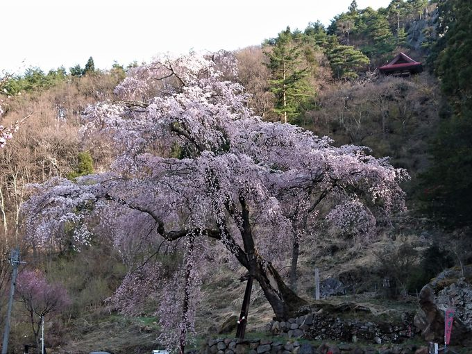 昔を偲ばせるお堂が趣深い「赤和観音のしだれ桜」