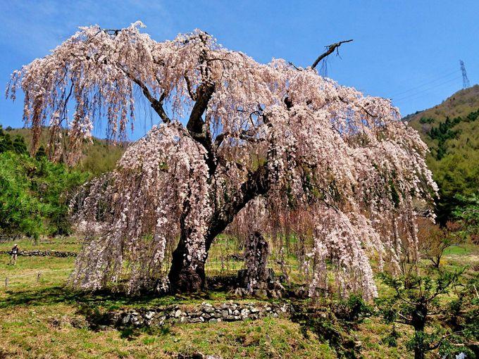 隠れ里伝承が残る優雅なしだれ桜「弁天さんのしだれ桜」