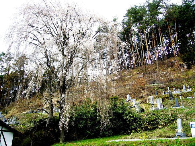 奈良川沿いに点在する隠れた桜の名所「豊丘五大桜」