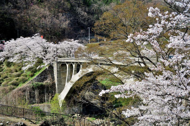 天竜川が造り出した河岸段丘の高台に咲く桜「大草城址公園」