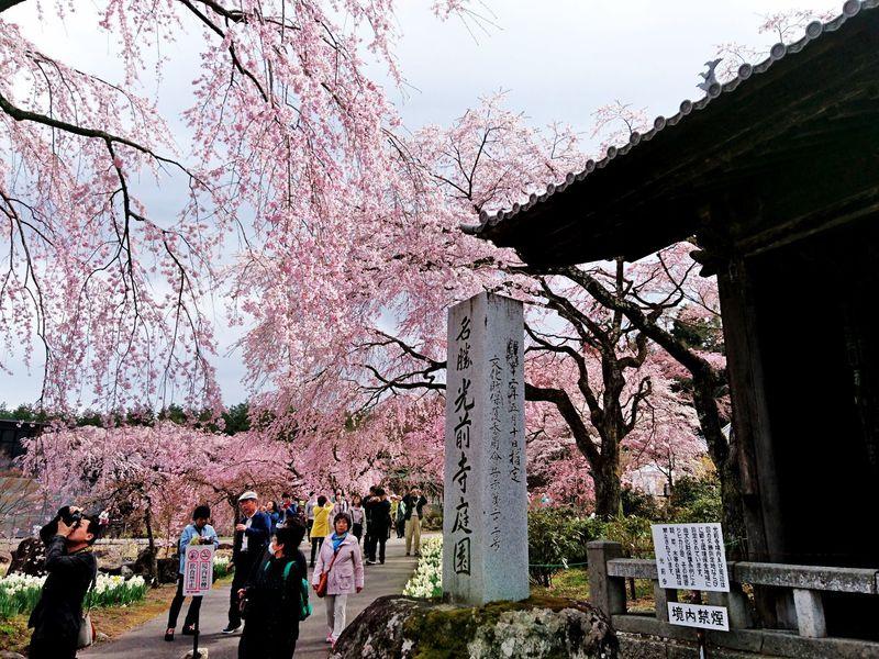霊犬・早太郎伝説が伝わる千年の古刹で桜の清香を楽しむ「光前寺」