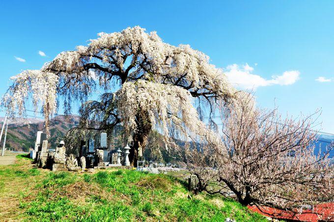 のどかな山里の春を彩る北信州山ノ内町の「宇木の古代桜」
