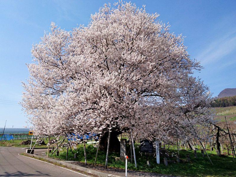 北信州・山ノ内町の桜の里「宇木の古代桜」で遅い春を楽しむ