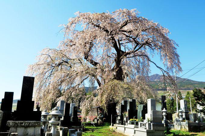 ゴールでは楽しみも待っている「区民会館前の桜」