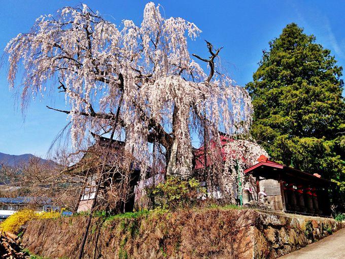 歩いて巡る桜コ−スの出発地は「隆谷寺の桜」