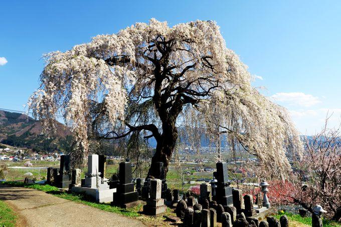 宇木地区の高台にそびえ立つ「大久保の桜」