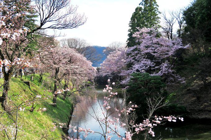 情感あふれる上田城掘端にそよぐ桜並木