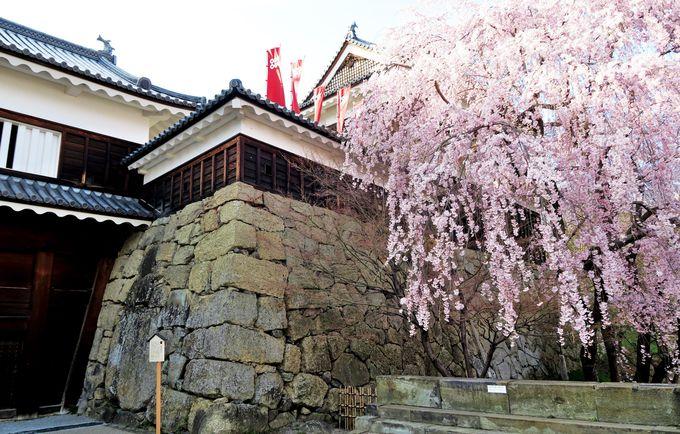 戦乱の舞台に咲き乱れる桜の競演