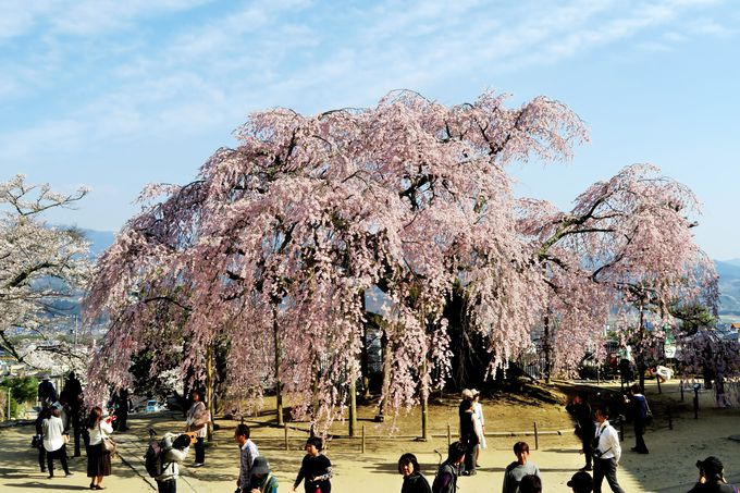 飯田市郊外・座光寺の日本唯一の半八重彼岸枝垂れ桜「麻績の里 舞台桜」