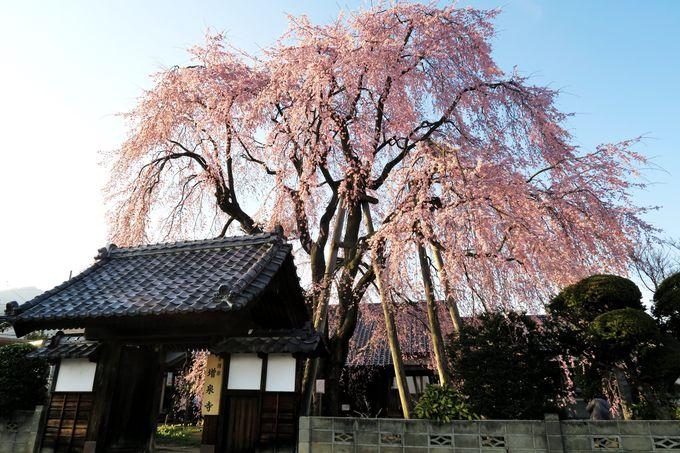 まだまだあります飯田市郊外の一本桜