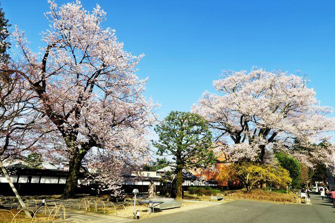 飯田を代表する名桜!長姫のエドヒガン「安富桜」