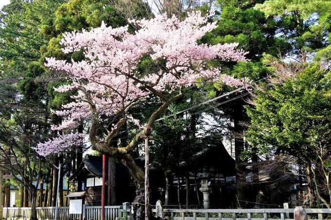 飯田市愛宕町・愛宕神社の「清秀桜」