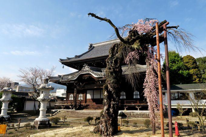 趣ある寺院建築とコラボする市街地を彩る一本桜