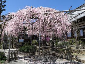 木曽義仲伝説を秘めた古寺の桜も!木曽路に名残の花が咲く