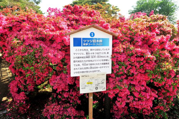 名勝「躑躅ヶ岡」は江戸時代からつづくツツジの名園