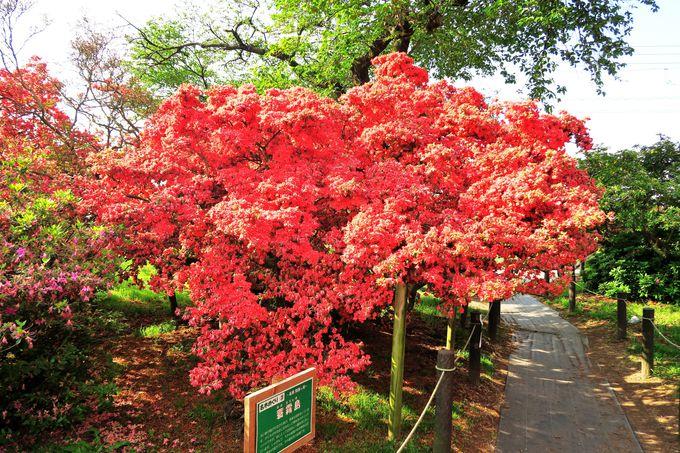 旧公園に咲くヤマツツジの古木群
