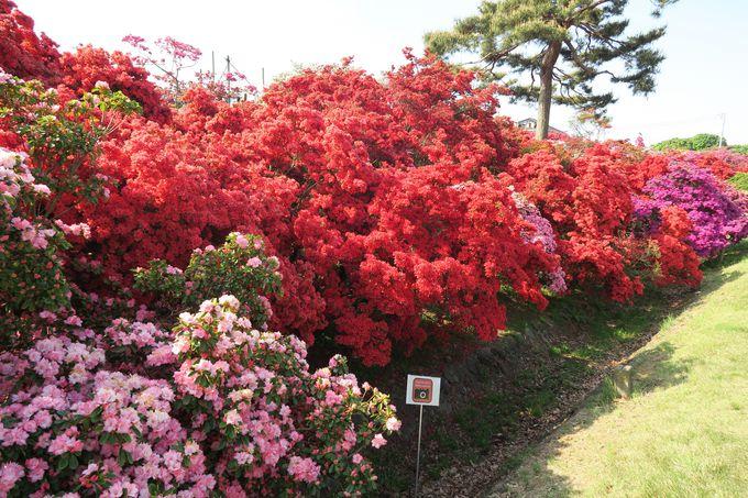 新公園の斜面一面がツツジの花で染まる
