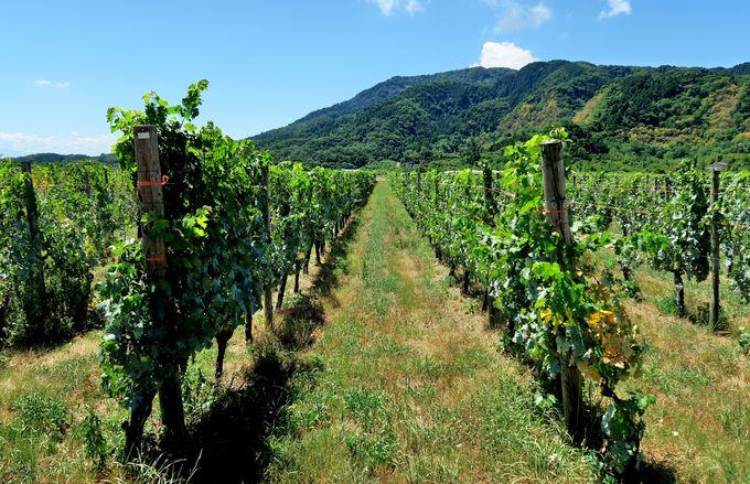 5つのワイナリーが集まり、ワイナリー巡りが楽しめる「新潟ワインコースト」
