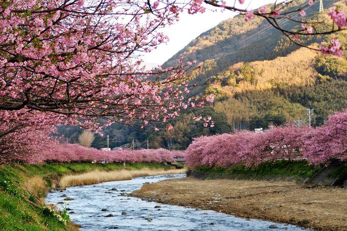 川辺に咲く早咲きの河津桜で春を喜ぶ