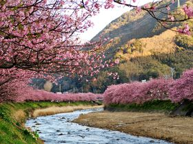 伊豆でおすすめの桜スポット10選 春先取りの早咲き桜に温泉街も!