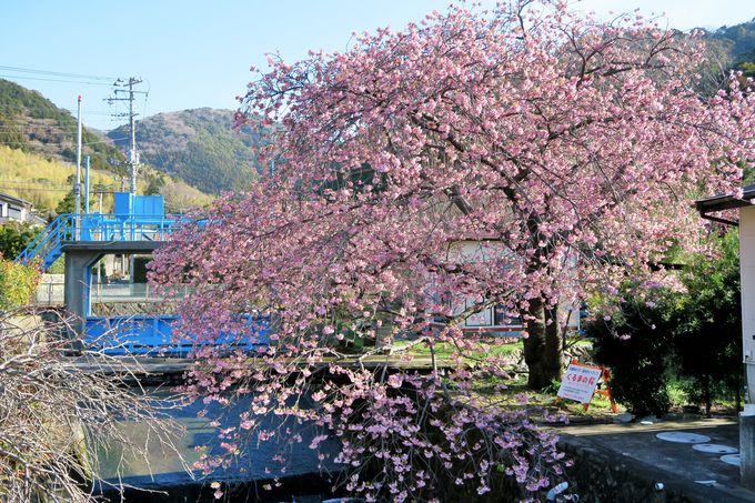 河津川沿いの桜並木から外れるも、見ておきたい名木一本桜