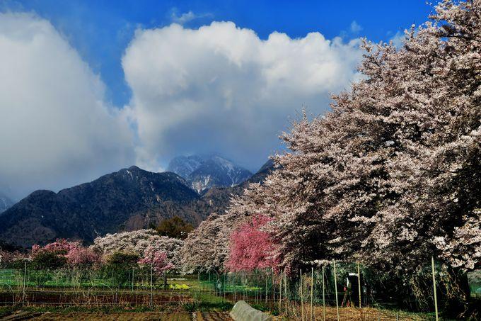 甲斐駒ケ岳をバックに続く「眞原(さねはら)桜並木」
