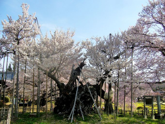 日本三大桜「山高神代桜」から始まる桜色