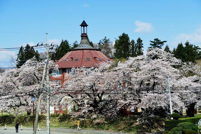 アートコロニー「清春芸術村」に咲き誇る桜