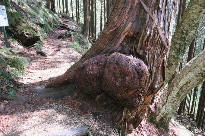遊歩道沿いに心なごますユニークな名前が付けられた巨木たち