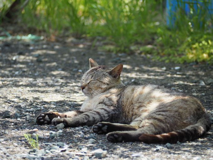 相島の楽しみ方�@猫と戯れる