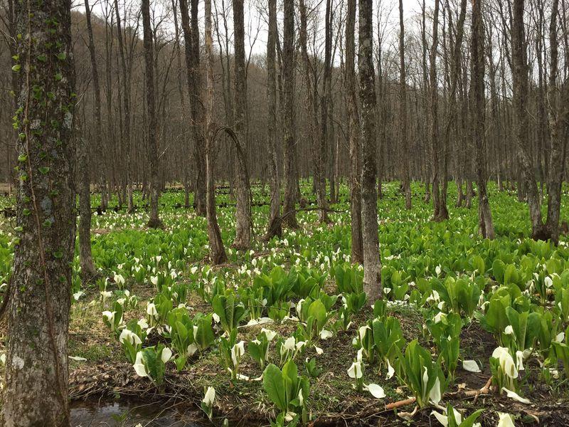 まさに春色!仙北市「刺巻湿原の水芭蕉」と「八津のかたくり群生の郷」