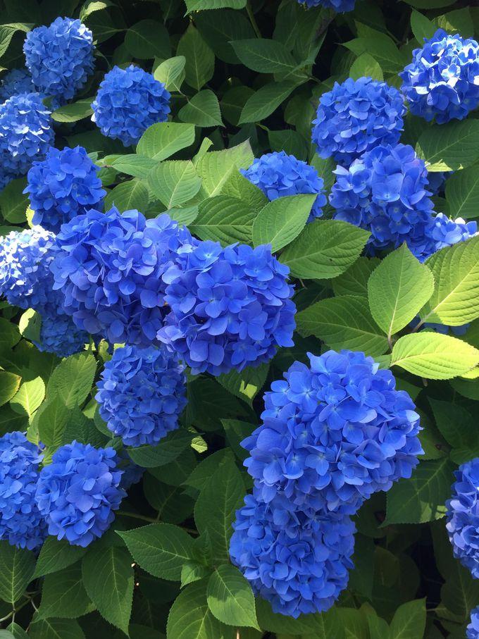 「雲昌寺」の青色あじさいのリラックス効果