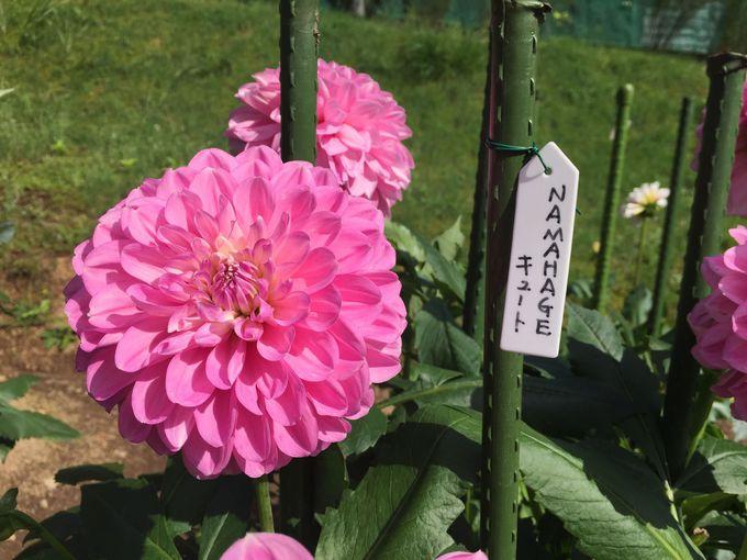 秋田オリジナル品種「NAMAHEGE」ダリアをご覧あれ!