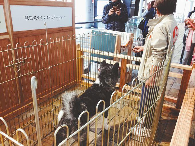 秋田駅西口の「秋田犬サテライトステーション」でも会える!