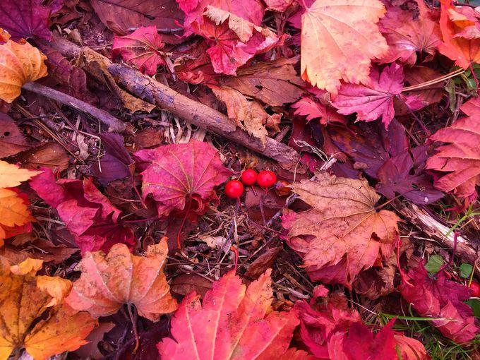 「きみまち阪」の鮮やかな紅葉のじゅうたんが美しい!