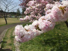 桜と彫刻の競演!秋田県井川町「日本国花苑」で春を満喫しよう