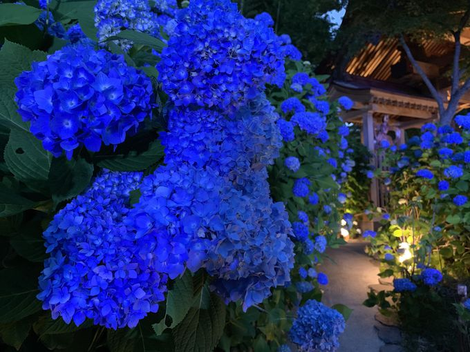 「雲昌寺」のあじさいはライトアップでより青く美しく!