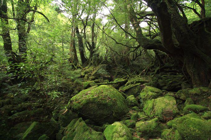 苔むす森が一番の見どころ
