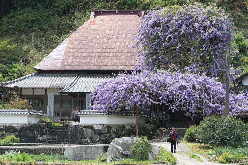 徳島の藤名所3選!大迫力の「のぼり藤」から繊細な鉢植えまで