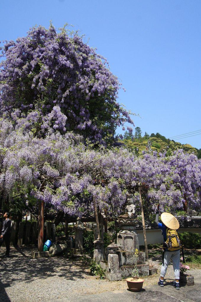 大迫力の「のぼり藤」で有名な神光寺