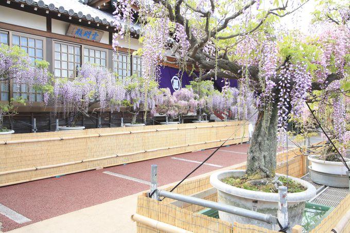 紫と白、二つの藤が共演する地福寺